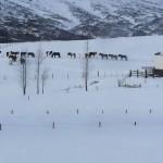 Belíssimos cavalos islandeses que parecem pôneis